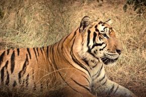 Tiger, Subic