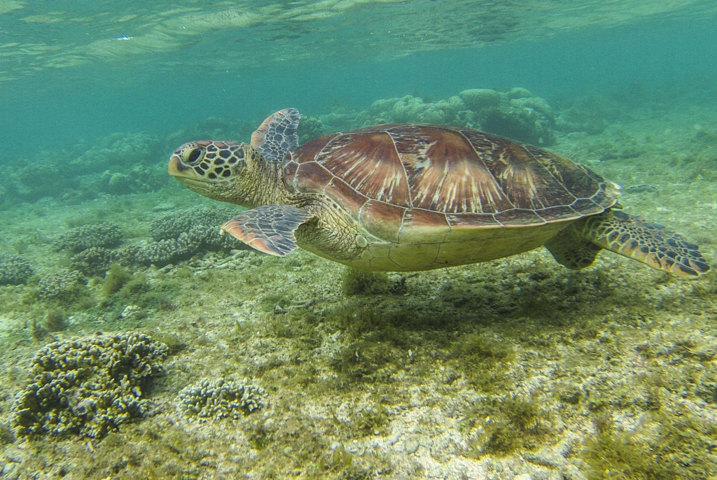 Turtle, Diving, Apo Island